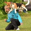 Beagle clearing a jump at agility trial - Stok fotoğraf
