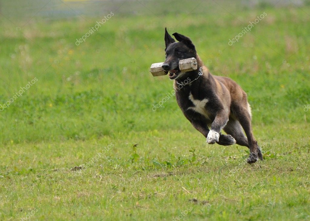 Belgian shepherd — Stock Photo #10549864