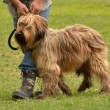 Briard dog - Stock Photo