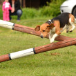 Stock Photo: Beagle at agility trial