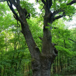 A very large oak tree — Stock Photo #10587093