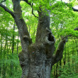 Stock Photo: Very large oak tree