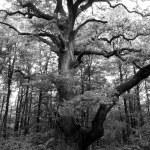 A very large oak tree — Stock Photo #10587117