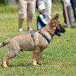 Stock Photo: Germshepherd puppy