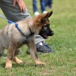 German shepherd puppy — Foto de stock #10600900