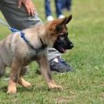 cachorro de Pastor Alemán — Foto de Stock