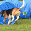 Beagle agility — Stock Photo