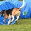 Stock Photo: Beagle agility