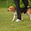 Beagle agility - Stock Photo