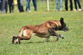 Belgischer schäferhund — Stockfoto