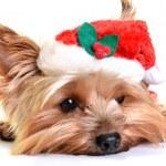 Christmas yorkie — Stock Photo #8017037