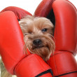 Yorkie with boxing gloves — Stock Photo