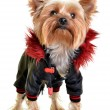 Yorkshire terrier in  clothes, isolated on white backgroun - Stock Photo