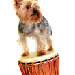 Yorkie on djembe — Stock Photo