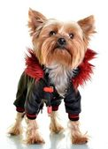 Yorkshire terrier in clothes, isolated on white backgroun — Stock Photo