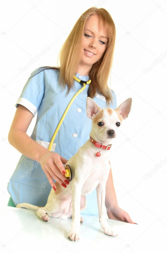 Veterinarian doctor making check-up of chihuahua isolated on white — Photo #8338787
