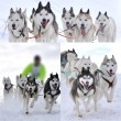 Dog sledging — Stock Photo #8453577