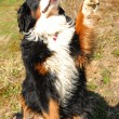 Bernese mountain dog — Stock Photo