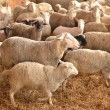 Herd of sheep — Stock Photo #9451993