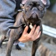 French bulldog — Stock Photo #9570249