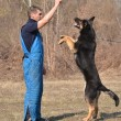 German shepherd - dog at a dog training center — Stock Photo #9639801
