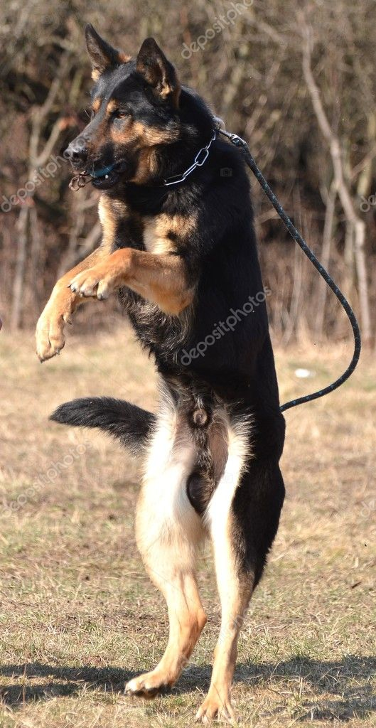 German shepherd - dog at a dog training center  Stock Photo #9639805