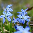 Beautiful blue spring flowers — Stock Photo