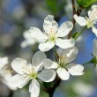 Stock Photo: Beautiful white flowers in spring