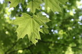 Beautiful green background with maple leaves — Stock Photo