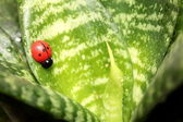 Beautiful ladybird on the leaf ficus — Stock Photo