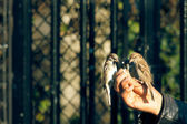 Sparrows standing on a human hand and eating — Stock Photo