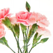 Bouquet of carnation — Stock Photo #8918238