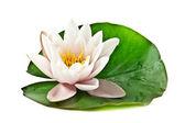 White lotus on leaf — Stock Photo