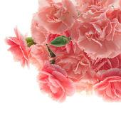Clavel rosa — Foto de Stock
