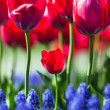 Stock Photo: Tulip Bokeh