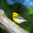 Stock Photo: Prothonotary Warbler