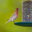 Stock Photo: House Finch