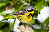 Photograph of a male magnolia warbler perched in a brushy woodland setting amidst a backdrop of spring greenery — Stock Photo
