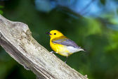 Prothonotary Warbler — Stock Photo