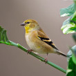 Stock Photo: AmericGold Finch