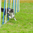 Border Collie in Agility Test — Stock Photo #10221594
