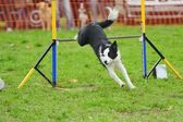 Gränsen collie i agility test — Stockfoto