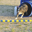 Stock Photo: AustraliShepherd Agility Competition