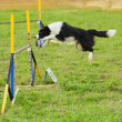 Border Collie in Agility Test — Stock Photo