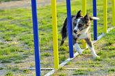 Australian Shepherd Agility Competition — Stock Photo