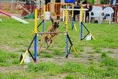 Belgian Shepherd Malinois Agility in Testing — Stock Photo
