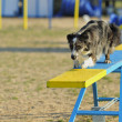 AustraliShepherd Agility Competition — Stock Photo #7990508