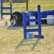 Border Collie Agility Competition — Stock Photo
