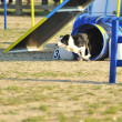 Border Collie Agility Competition — Stock Photo #7990574