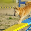 Stock Photo: Terrier in Agility competition